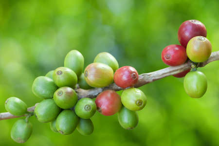 coffee harvest: Coffee beans growing