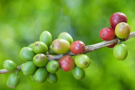 Grains de café en croissance Banque d'images - 9667881