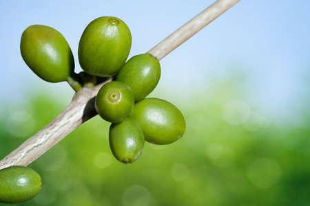 frijoles rojos: Los granos de café creciendo