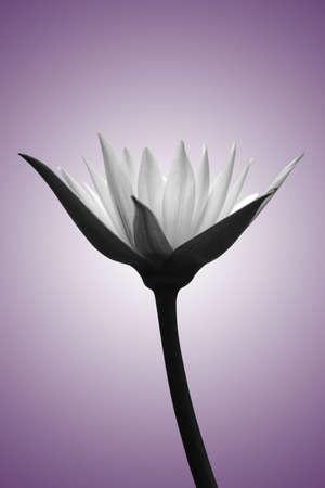 wild botany: Lotus