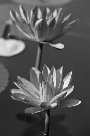 Abstract of waterlily photo