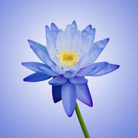 Bleu Waterlily Banque d'images - 9744347