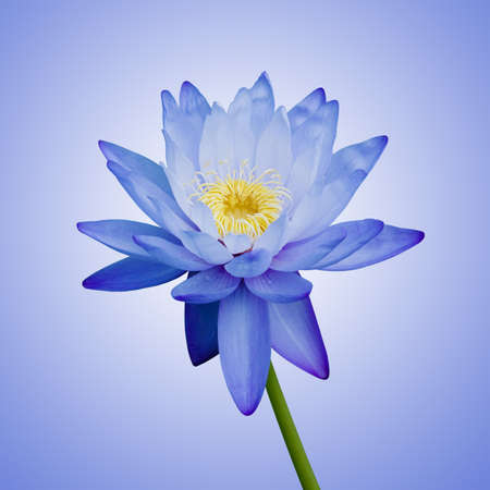 Blue Waterlily photo