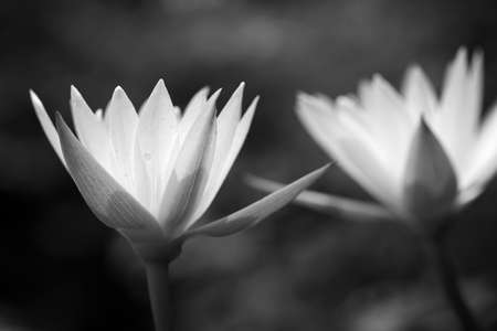 Black and white water lily Stock Photo - 9857088