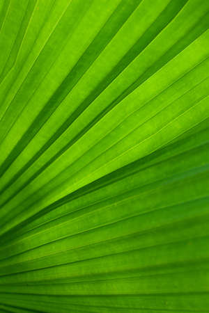 rabbet: Green leaf of palm tree