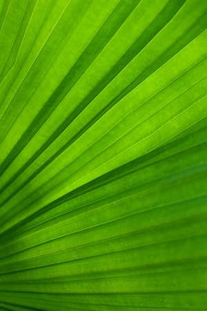 nervure: Hoja verde de palmeras
