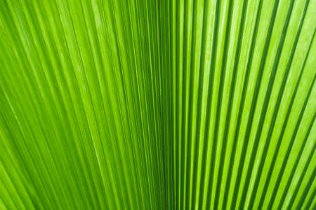 Green leaf of palm tree photo