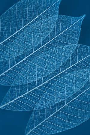 nervure: Hoja seca transparente sobre fondo azul