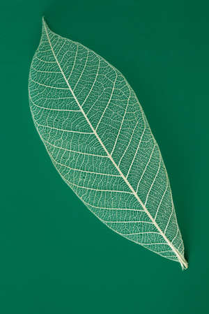 nervure: Dry transparent leaf isolated on green