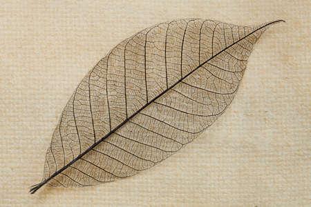 nervure: Dry transparent leaf Stock Photo