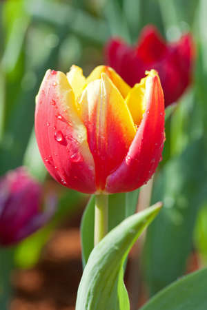 Yellow-red tulips photo