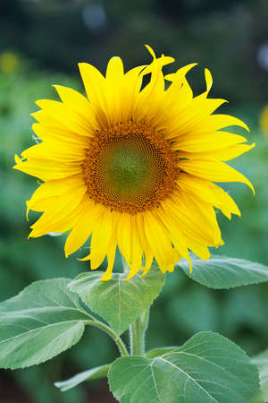 Fully blossomed sunflower photo