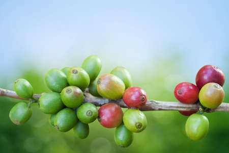 Coffee tree with ripe berries on farm photo