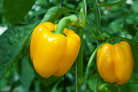 Yellow paprika Stock Photo - 11883339