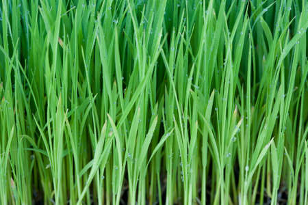 Young rice photo