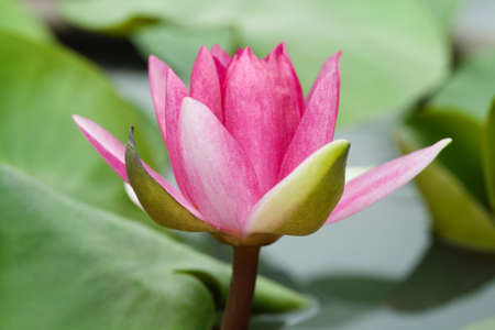 Red water lily with lotus leaf on pond photo