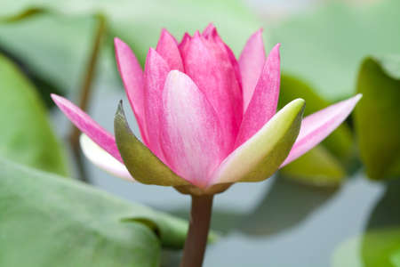 Pink water lily with lotus leaf on pond photo