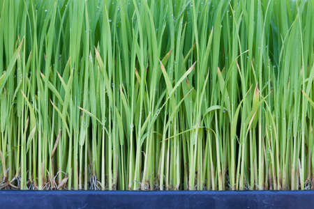 Young green paddy plant suitable background photo