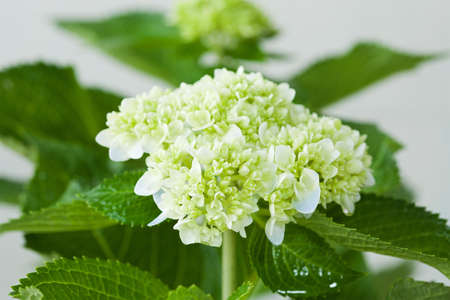Beautiful hortensia flower Stock Photo - 13881826
