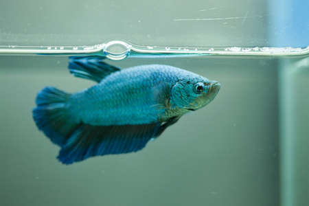 Siamese fighting fish, Betta fish Stock Photo - 13950867