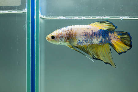 Siamese fighting fish, Betta fish Stock Photo - 13971749