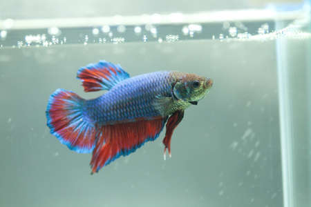 Siamese fighting fish, Betta fish Stock Photo - 13971750