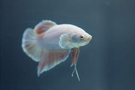Poissons siamois de combat, le poisson Betta Banque d'images - 13971751