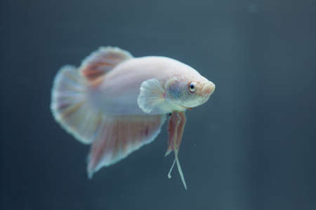 Siamese fighting fish, Betta fish Stock Photo - 13971751