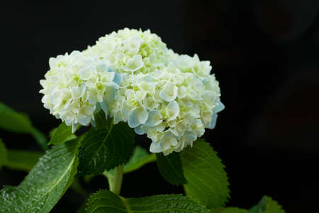 Beautiful hortensia flower Stock Photo - 14158020