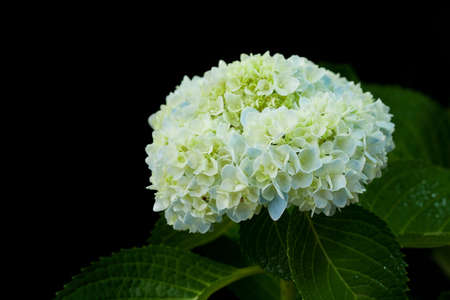 Beautiful hortensia flower photo