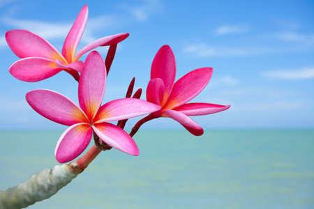 Plumeria fiori sulla spiaggia Archivio Fotografico