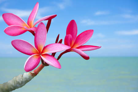 Plumeria flowers on the beach Stock Photo