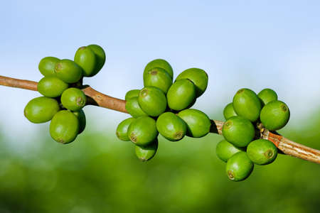 bush bean: Green coffee beans Stock Photo