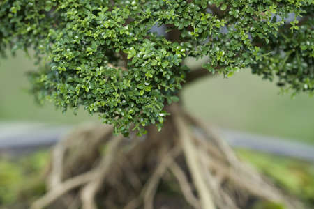 Close up of bonzai tree