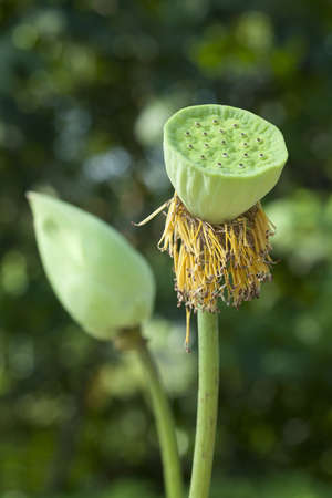 Seed Pod of Lotus Flower photo
