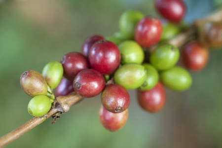 unpicked: Coffee beans ripening on tree