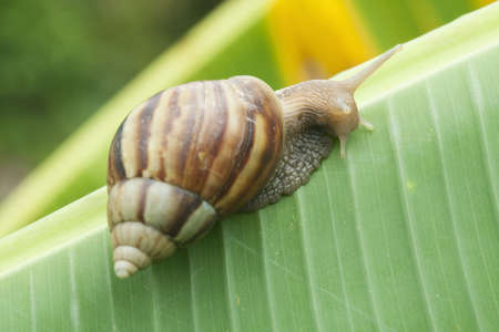 Snail on banana palm green leaf photo