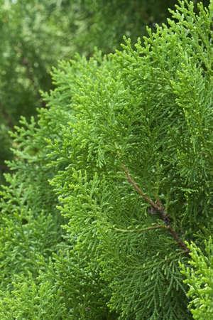 cypress tree: American Arborvitae (cypress tree) Stock Photo