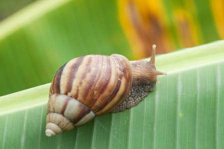 Snail on banana palm green leaf photo
