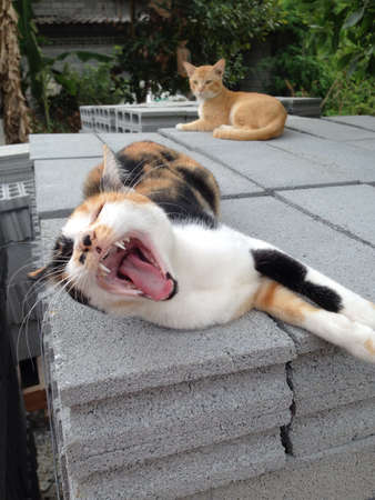 gape: Cat yawning Stock Photo