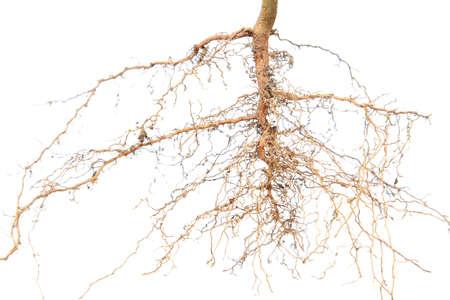 Les racines des arbres Banque d'images - 28607283