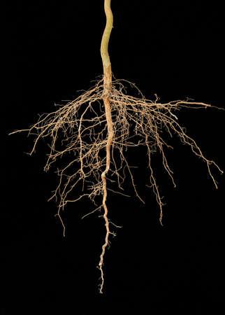 arbol con raices: Las raíces del árbol