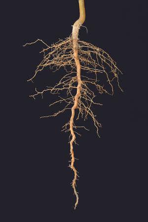 Roots tree