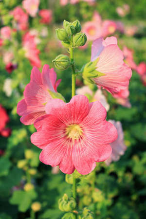 hollyhock: Pink Hollyhock Flowers Stock Photo
