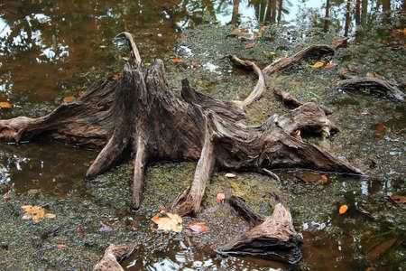 turf: Stump in een turf moerasbos