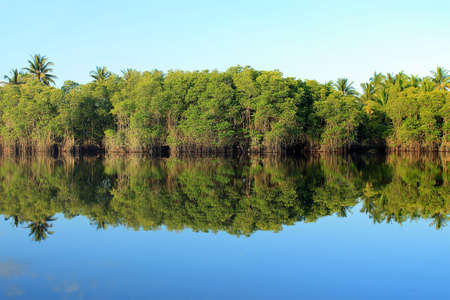topical: Mangrove forest topical rainforest