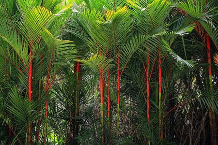 Palma di rossetto in Thailandia