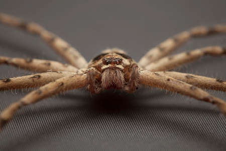 eight legs: Close up of cane spider