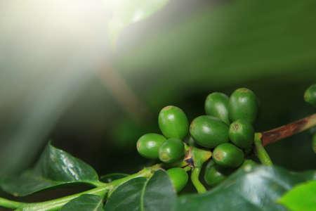 green bean: Coffee seeds on a coffee tree