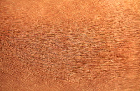Close up brown dog fur background Stock Photo